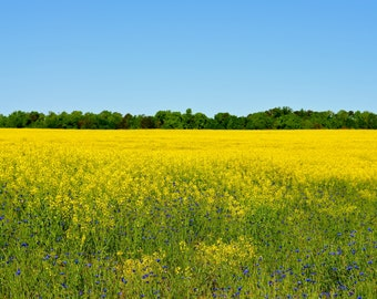 Nature Photography - Field of Yellow - Travel, Floral, Flower, Impressionist, Wall Art, Landscape, Southern, Botanical, Fine Art Photography