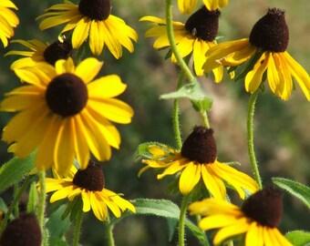 100 YELLOW CONEFLOWER Ratibida Pinnata Flower Seeds