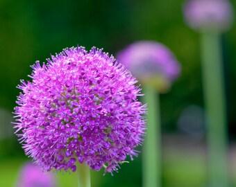 Allium, purple flower fine art photographic print with choice of sizes