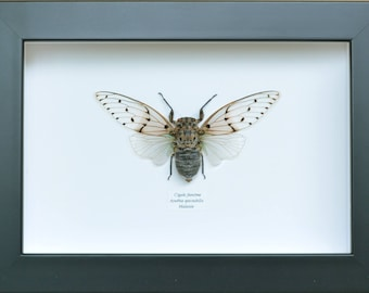 """Ayuthia spectabilis"" female ghost cicada from Malaysia naturalized in France, black frame"