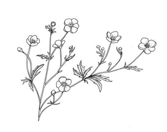 Buttercup Flower Orignal Drawing