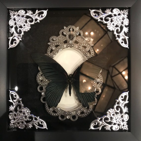 Real black papillio butterfly taxidermy display!