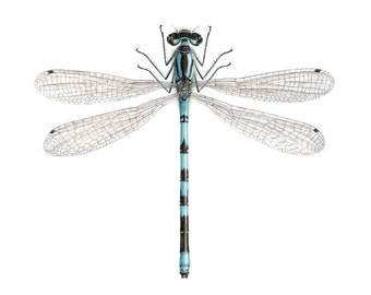 A4 size limited edition print - Coenagrion hastulatum. Northern Damselfly