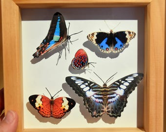 Butterfly Box - Tropical butterflies from Borneo | Like-real in 15cm x 15cm shadow box