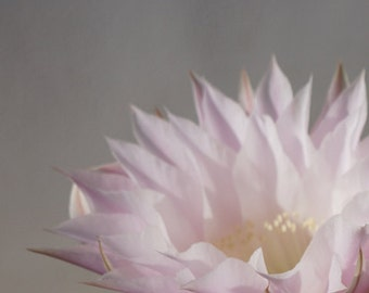Pale Pink Cactus Flower 2 Photography 8x10 - Wall Decor - Fine Art Photography Print