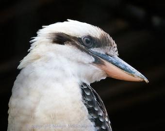 Kookaburra wall art - photo print, modern nature decor, bird photography, bird wall art, Australian native bird, Australian wildlife print