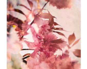 Cherry Blossom.  Colour photographic print.
