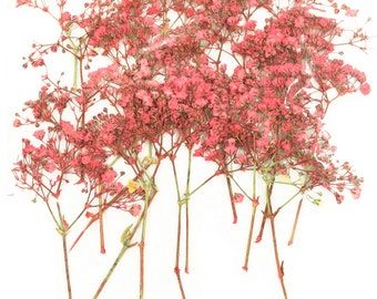 Pressed flowers, gypsophila, pink baby's breath 20pcs for art, craft, card making, home decoration, scrapbooking