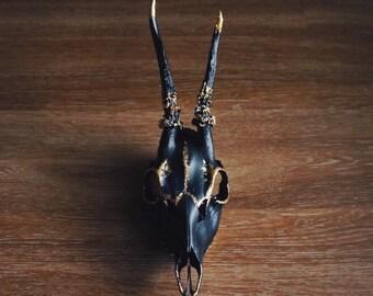 Black & Gold Painted European Roe Deer Skull