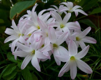 Rain Lily Bulb, Zephyranthes 'First Love', Rainflower, Fairy Lily, Magic Lily, Zephyr Lily, Atamasco Lily, Flowering Size