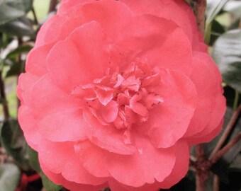 """CAMELLIA japonica  """"Romany"""", 3-gallon"""