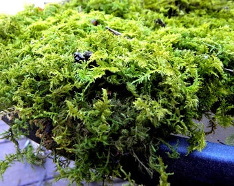 Gallon bag of Fresh Picked Live Sheet Moss - Organic