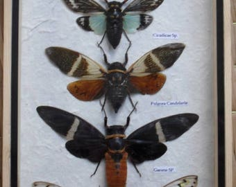 5 Real Clcada Insect Taxdermy Collection In Wooden Box /INF07K