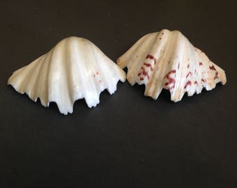 Bear Paw (Claw) Clam (Single) (Polished) Shell  (EA)