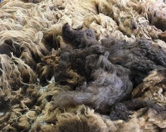 "Shetland Wool, Full Fleece, 1 lb 12 oz, Chocolate Brown, Moorit, Raw, Unwashed, Yearling, Soft, Spinning, Blending, Felting Fiber, ""Harpo"""