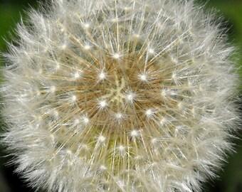 8x10 sparkling dandelion seed head