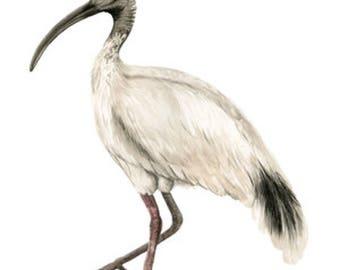 Ibis / Bin Chicken Print - Watercolour Painting