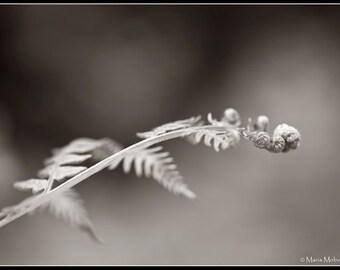 Fern Curl Black and White Sephia toned Photographic Fine Art Print