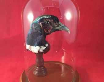 down-Mummified preserved Ringneck Pheasant Bird Head Mount Glass Dome Display