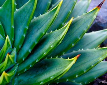 Spiral Aloe At The Mendocino Coast Botanical Gardens
