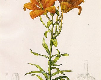 Daylilies - art print - gift for artists - art lovers -- Spring Bouquet - flower print decor oranges redoute botanical