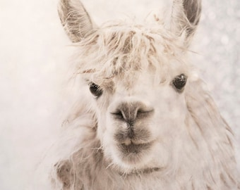 Alpaca ears up photography, animal photography magical alpaca winter scene white snowy