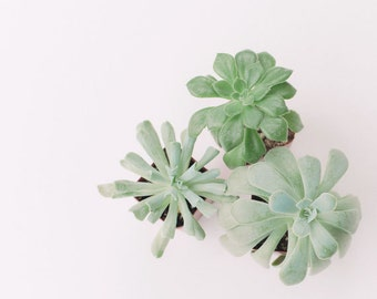 Nature Photography - Succulent Photograph - Houseplants - Succulents - Fine Art Photography Print - Green White Home Decor