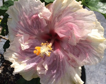 Tropical Exotic Hibiscus  'Pink Ruffle' ~ Live Starter Plant