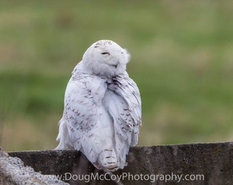 Snowy Owl in Central Ky. #2285