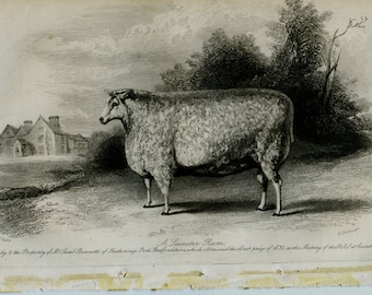 Vintage engraving a leicester ram at cambridge july 1840