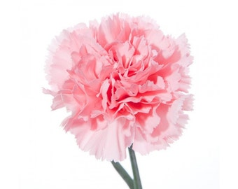 Carnation Organic Perfume