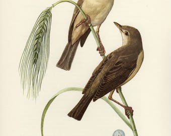 Vintage lithograph of the marsh warbler from 1953