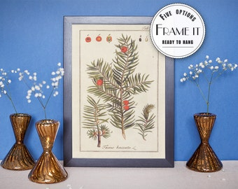 "Vintage illustration of English Yew  - framed fine art print, botanical art, home decor 8""x10"" ; 11""x14"", FREE SHIPPING - 43"