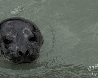 Curious Seal - Alaska