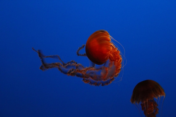 Orange Jellyfish--matted black framed burl walnut wood underwater photo