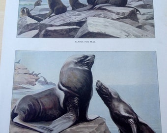 Alaska Fur Seal and Steller Sea-Lion Vintage 1906 Print Louis Agassiz Fuertes