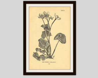 Antique Botanical Print, 5 x 7.75, Aged Black and White Flower Illustration, Cottage Decor, Marsh Marigold, Wildflower, Original Print (123)