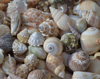 "Indian Ocean Medium Seashell Mix (3/4 - 1 1/2"")   1 Cup"