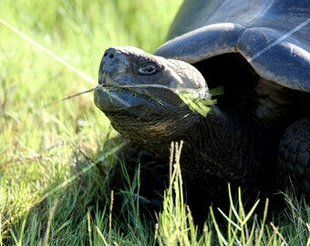 Tortoise, Galapagos, Ecuador.