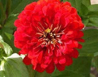 30+ Zinnia Red Cherry Queen Flower Seeds / Annual