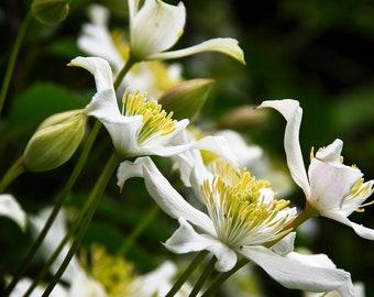 White Clematis - Garden Photo - Flower Photography - Floral - Wall Art - Home Decor - Fine Art Print - Seasonal - Spring - Gift - Renfro