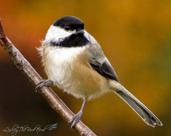 Bird Photography - Chickadee Wall Decor, Nature Picture, Red, Orange - Fine Art Photo, Wildlife, Autumn -026
