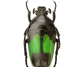 Scarab Flower Beetle Dicheros modestus Real Insect Green