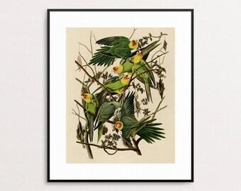 Bird Print - Parrot Print - Birds of America - Audubon - Wall Art - Tropical Wall Art - Bird Art - Giclee - Bird Illustration - Parrot Art