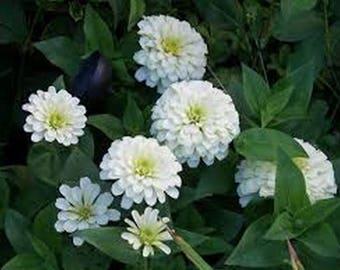 Zinnia- Polar Bear White- 100 Seeds