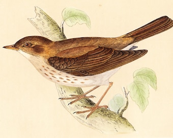 Antique Thrush Nightingale Print . original old vintage bird plate woodblock . vol III, dated 1853 art specimen illustration