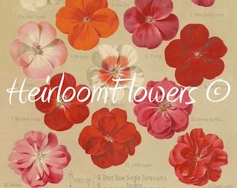 Single and Double Geraniums #11. Digital Download, Peter Henderson Vintage Garden Seed Catalog Flower Advert