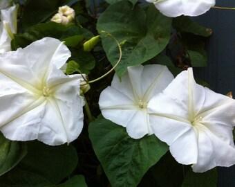 Moonflower Vine Seeds, White Moonflower, Impomea alba,Fragrant Night Blooming Vines