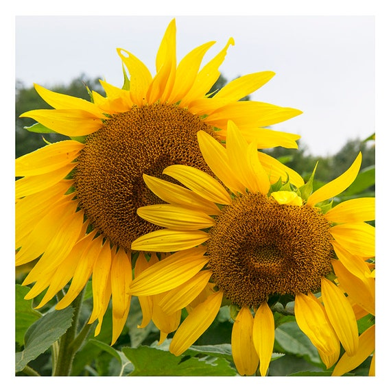 Sunflower Photo, Sunflower Print, Flower Photo, Country Home Decor, Sunflower Art, Farmhouse Wall Decor