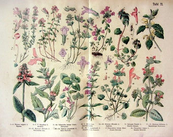 1895 Vintage colossal flowering aromatics plants lithograph print, curious flower herbs engraving,oddity botany thyme alehoof, flower plate.